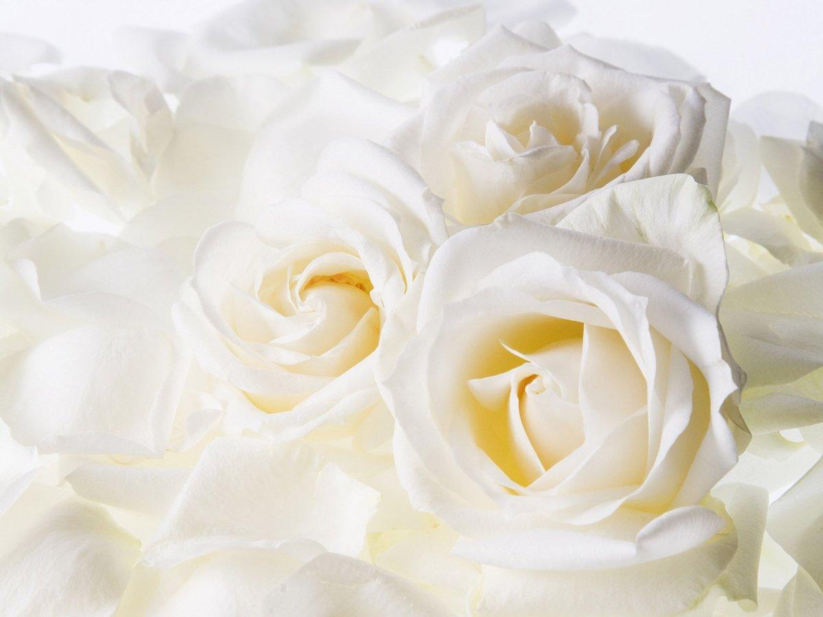 Белые розы открытка, своей семье английскому