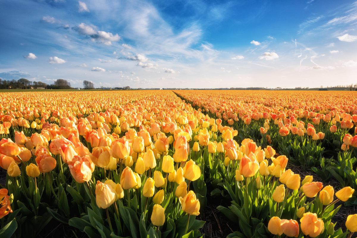 Чтобы точно узнать к чему снятся тюльпаны, стоит использовать сонник.