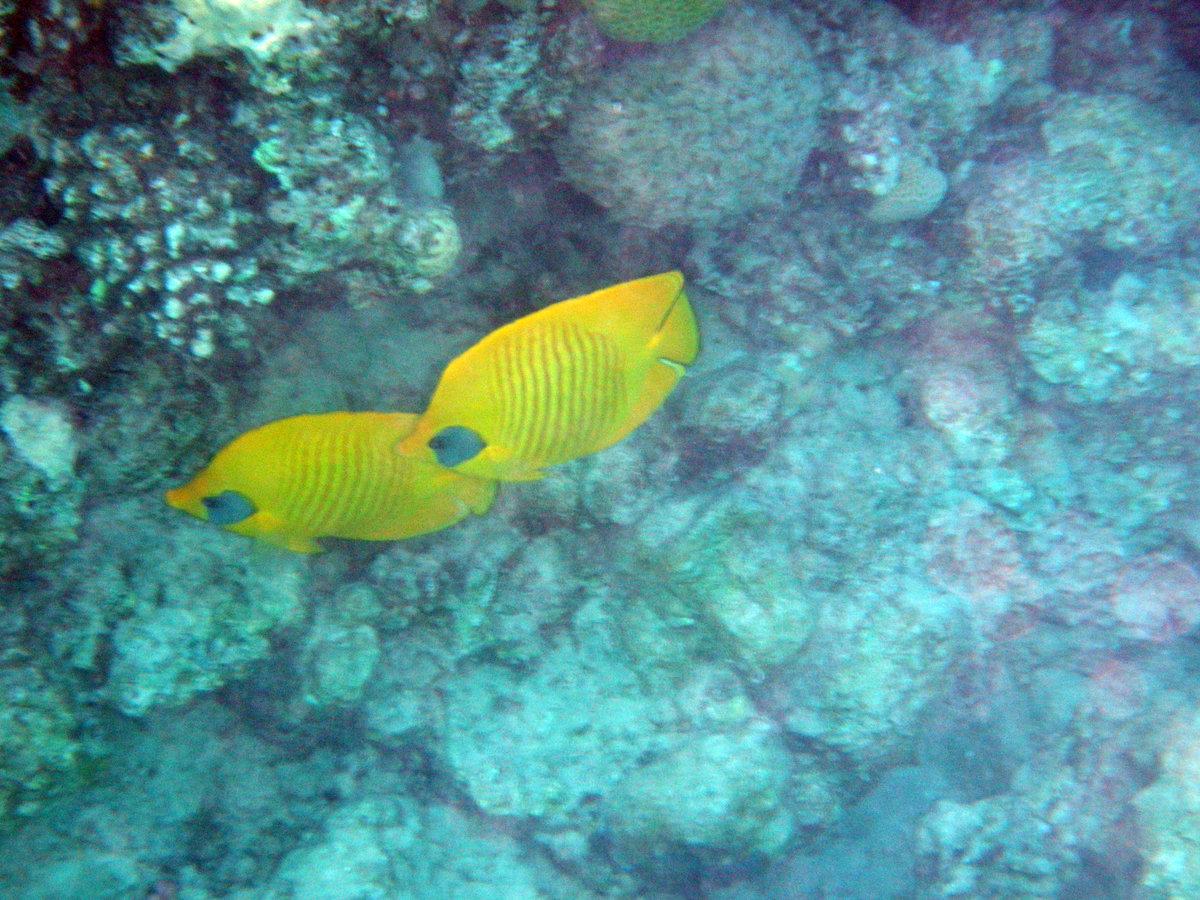 Рыба-дьявол краснеющая рыба-дьявол краснеющая относится к скорпионовым.