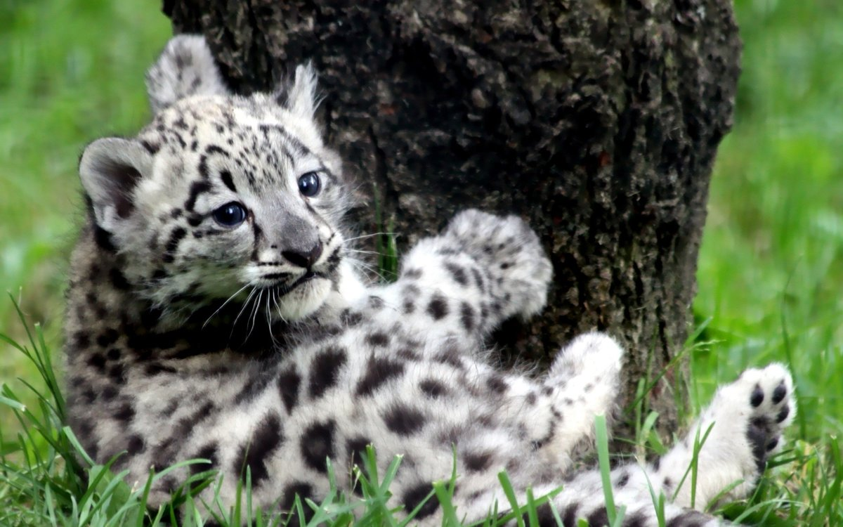 Baby Snow Leopard IPhone Wallpapers For Free