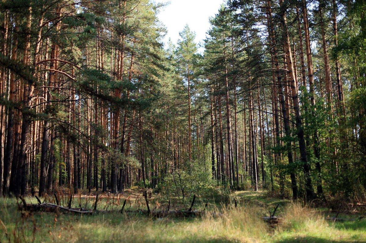 фото соснового леса гифки симптомы