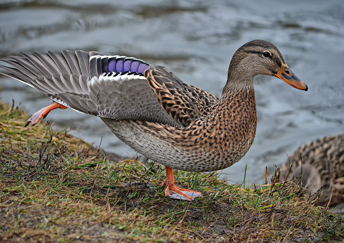 Фото водоплавающих птиц с названием
