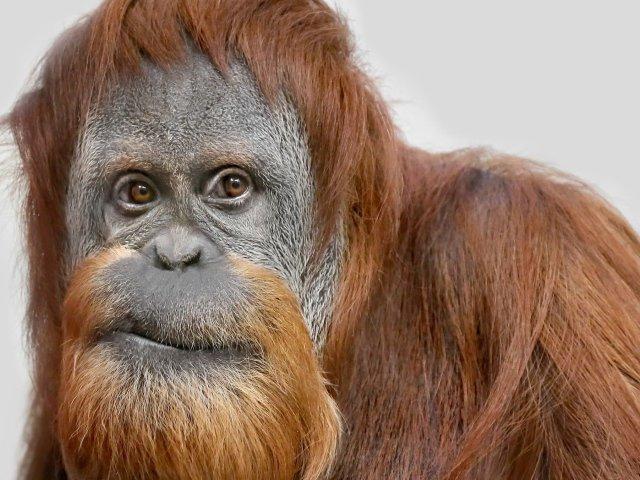 Взгляд большой самки орангутанга.Орангута́ны (малайск. orang utan — «лесной человек», лат. Pongo) — род Ð´Ñ€ÐµÐ²ÐµÑÐ½Ñ‹Ñ Ñ‡ÐµÐ»Ð¾Ð²ÐµÐºÐ¾Ð¾Ð±Ñ€Ð°Ð·Ð½Ñ‹Ñ Ð¾Ð±ÐµÐ·ÑŒÑÐ½, один из наиболее Ð±Ð»Ð¸Ð·ÐºÐ¸Ñ Ðº человеку по гомологии ДНК. В разговорном русском языке равнозначным является вариант названия «орангута́нг», но в зоологии употребляется только первый вариант. Википедия.