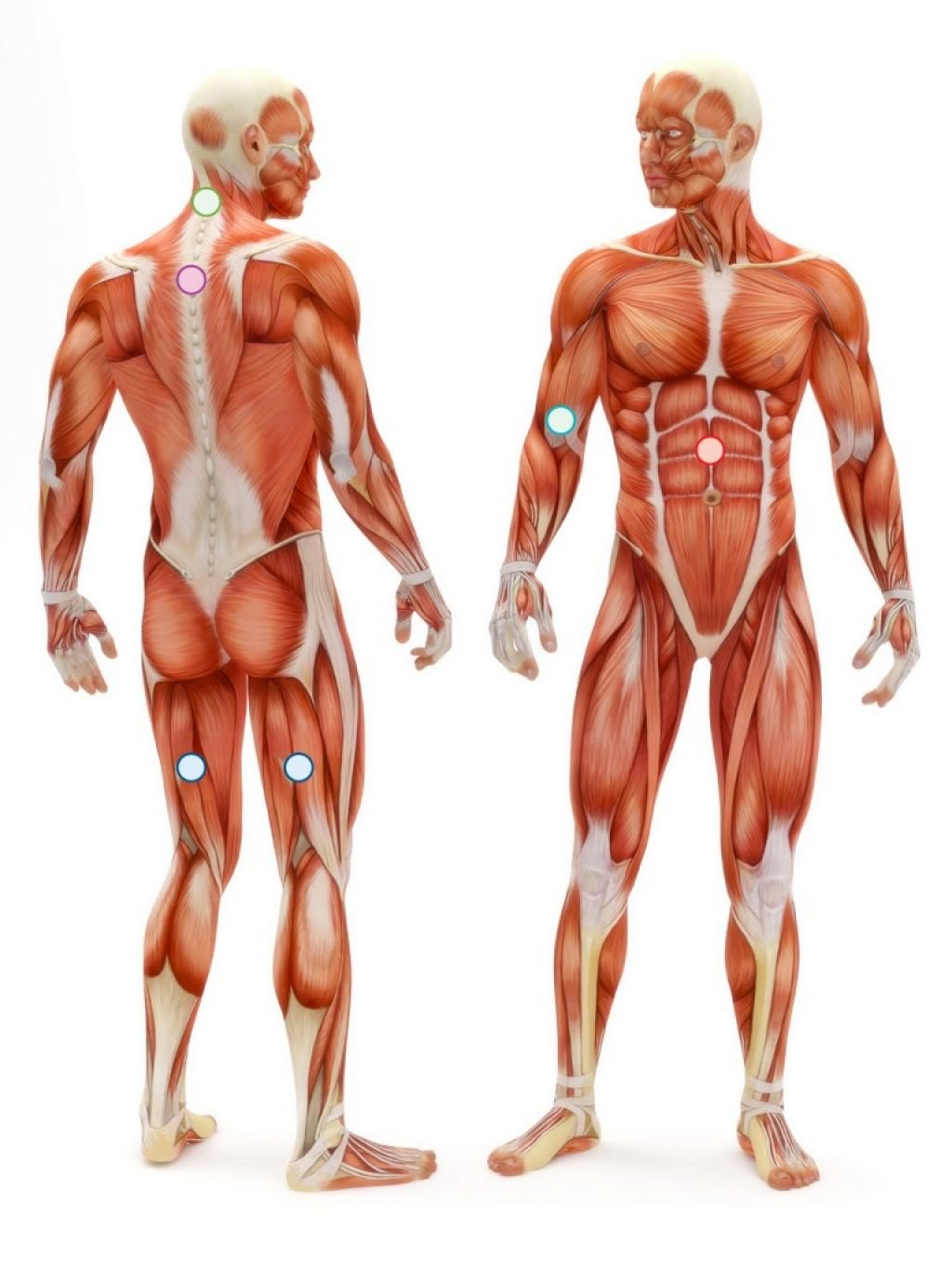 Body Anatomy Muscles Human Anatomy Picture Of Body Anatomy Muscles