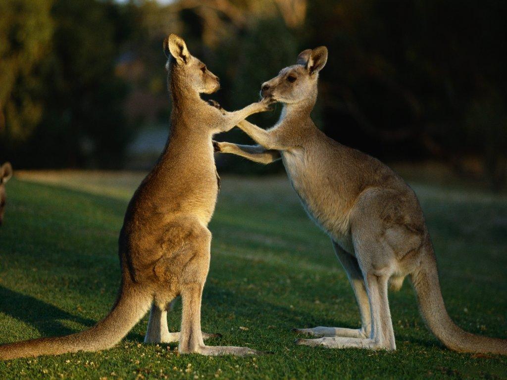 гугл картинки кенгуру велись переменным
