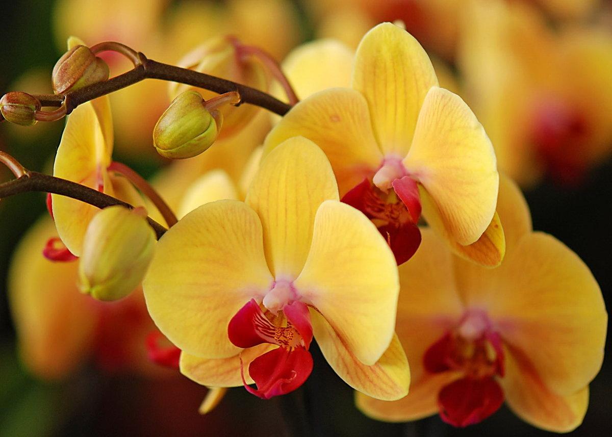 Орхидея картинки красивые, днем матери