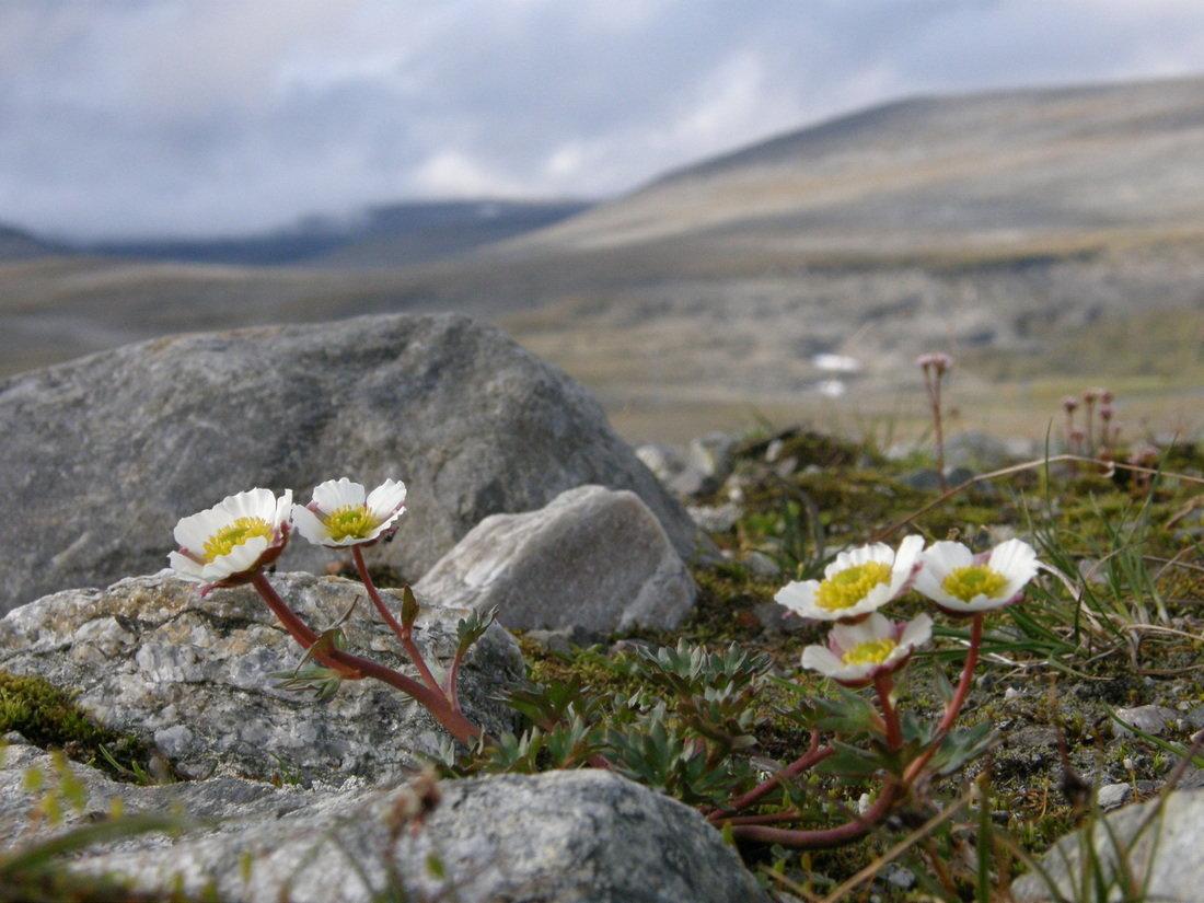 Цветы на севере россии, головки цветы