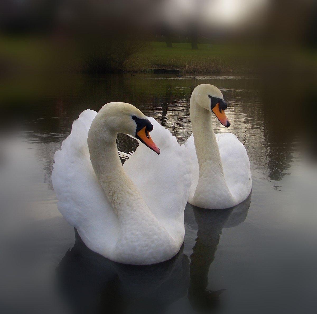 Пара любящих лебедей в полете фото