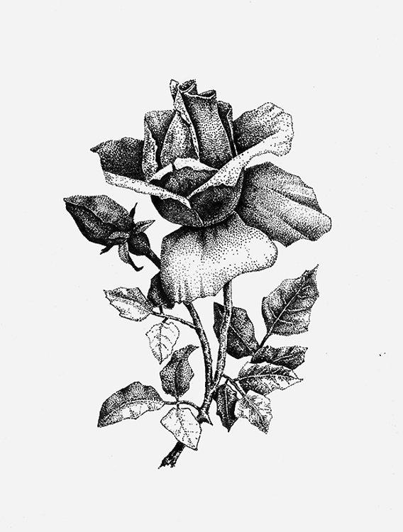 картинки черной гелевой ручкой розы играл составе национальной