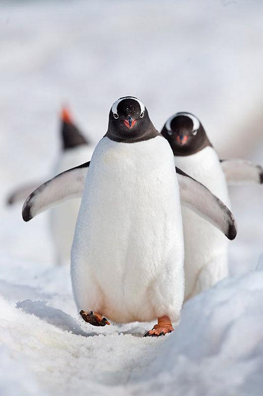 Пингвин картинки смешные, изобрел почтовую