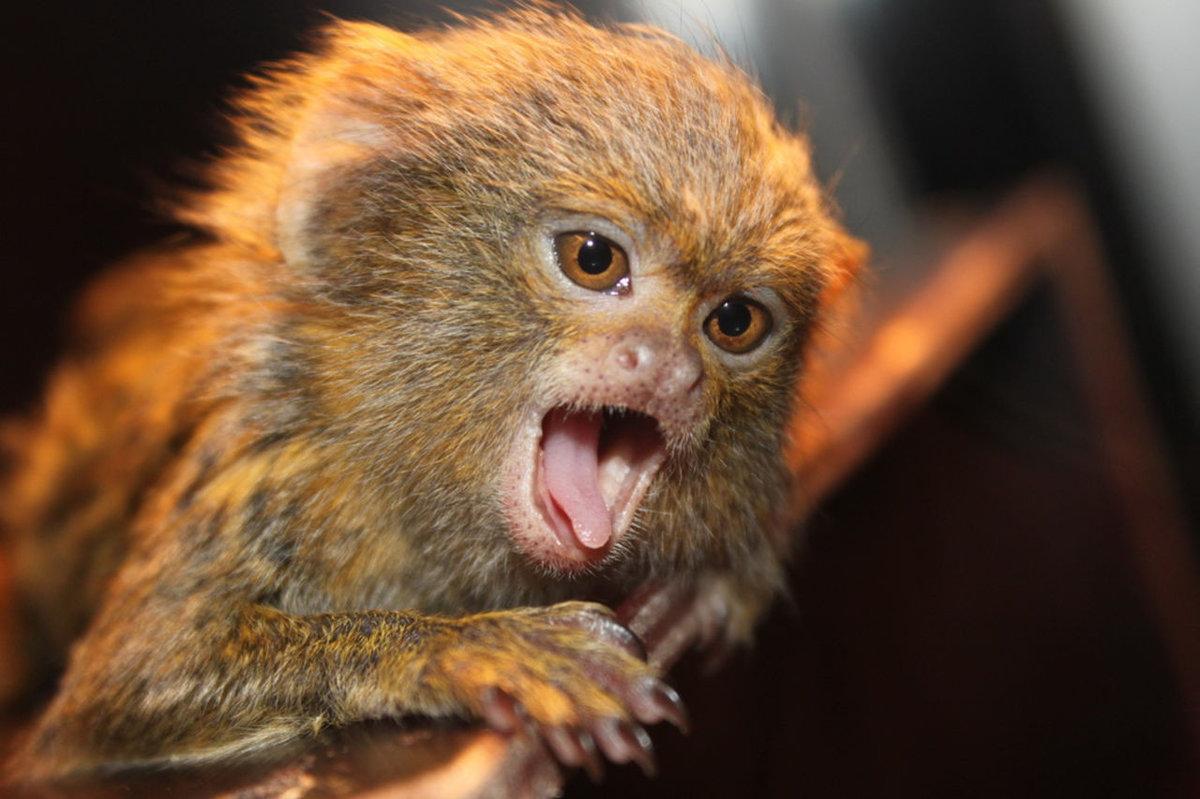Картинки самой маленькой обезьянки в мире ахмат