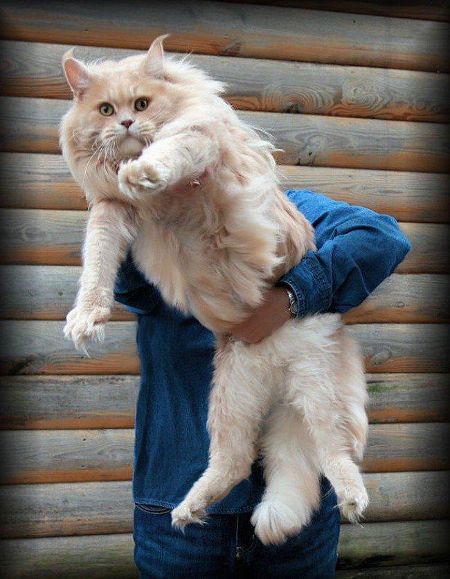 большой милый котик