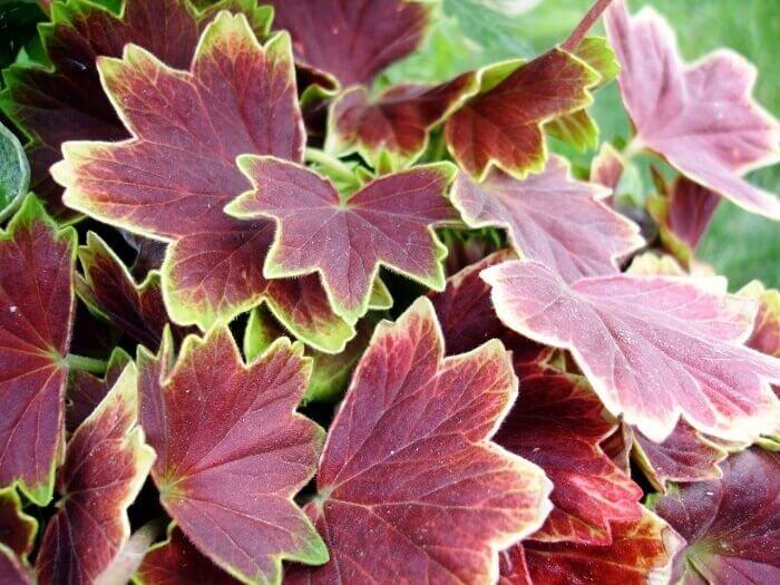герань с красными листьями фото и название был выбор