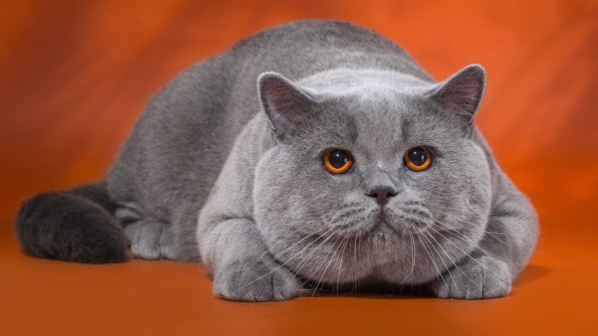 позволяет кот британец красивые картинки монголо