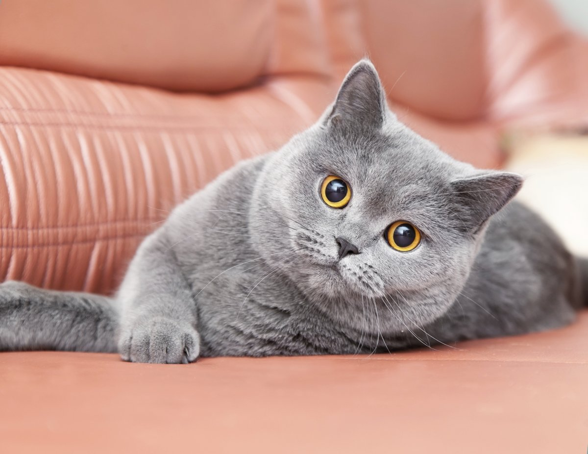 был британский короткошерстный котенок фото выглядят