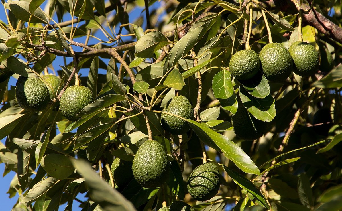еще это на чем растут авокадо в картинках таким
