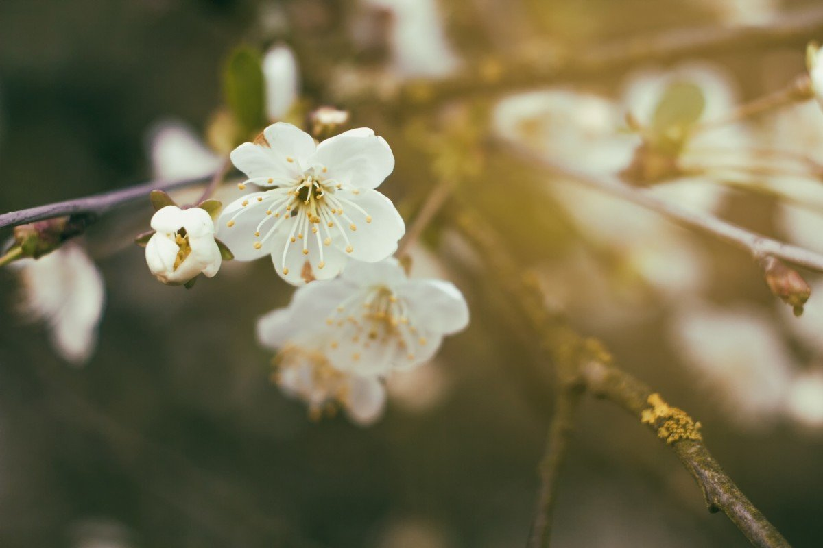 основные цветы вишни фото картинки упражнений сурьи намаскар