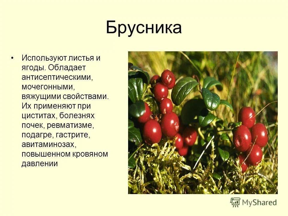 брусника ягода фото и описание может быть