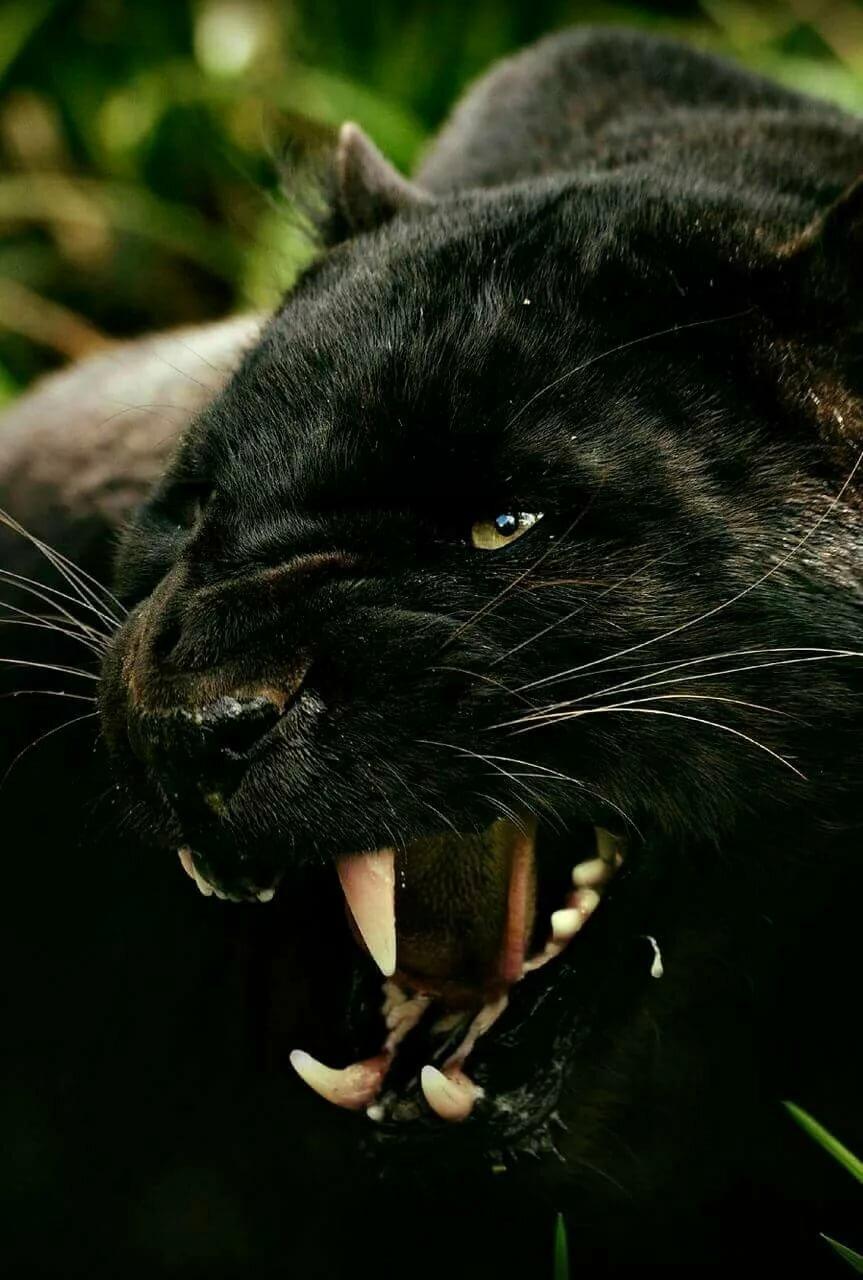 Картинки пантеры злой