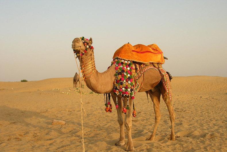 Верблюд красивые картинки, водителям