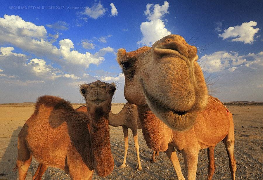 Открытки, картинки с верблюдом смешные