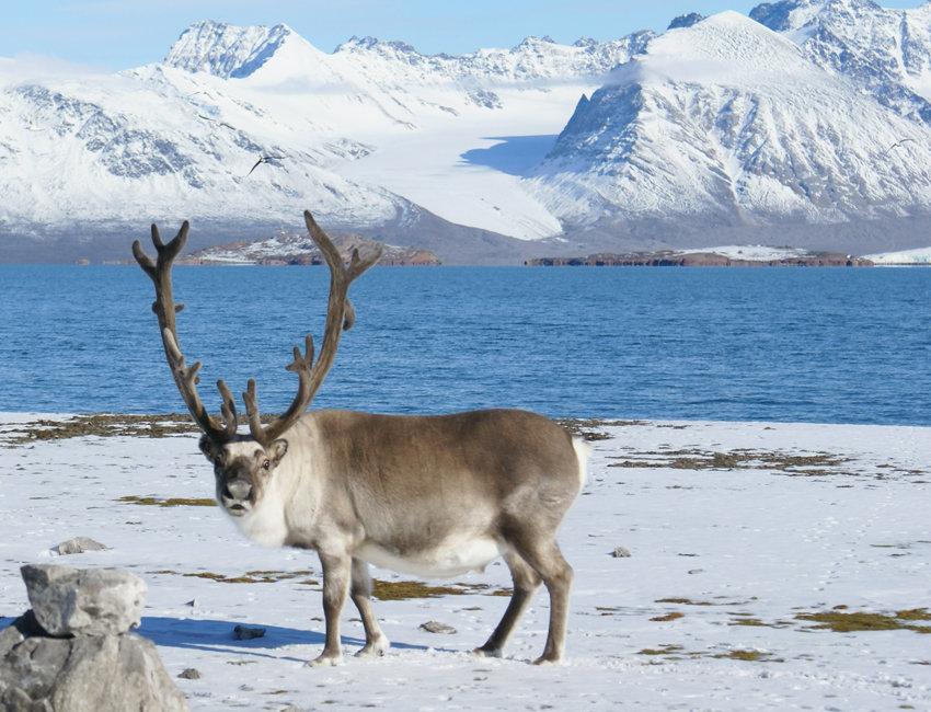 Картинки северного полюса олень