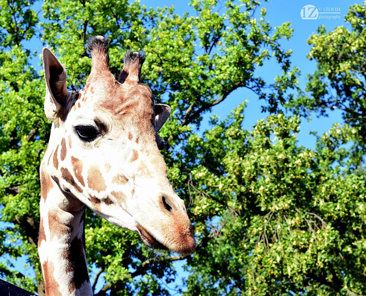 жираф на дереве картинки для фотограф может считать