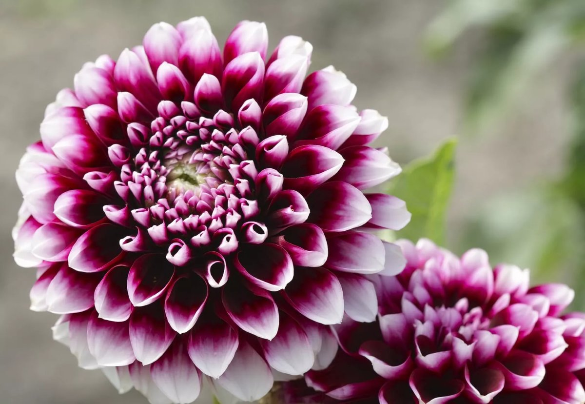 Facts on dahlia flower seeds u2013 how to plant dahlia seeds card facts on dahlia flower seeds u2013 how to plant dahlia seeds izmirmasajfo