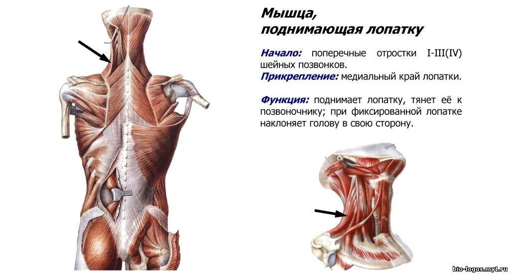 мышцы лопатки в картинках