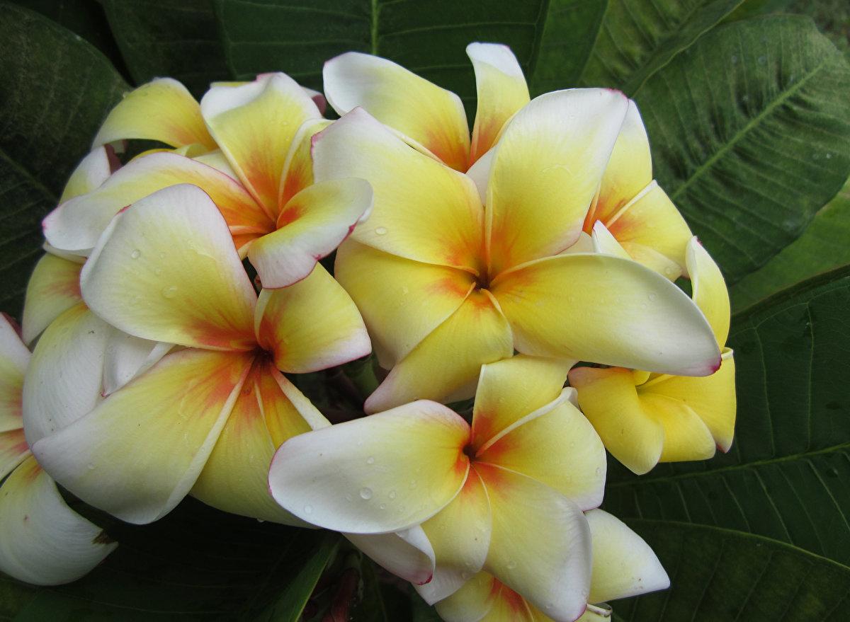 Купить цветок франжипани, доставка