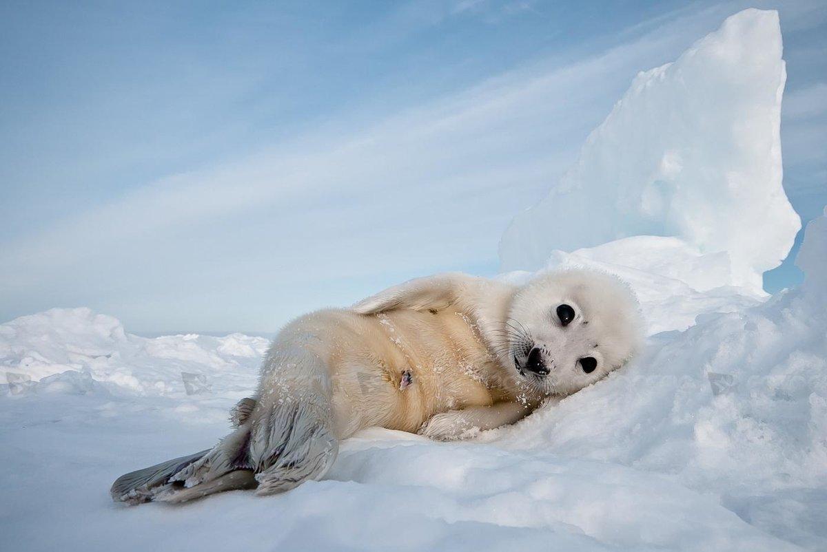 Как выглядят тюлени фото шнайдера классическая