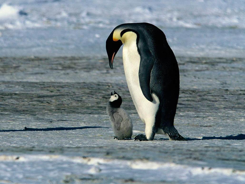 Анимация, картинки с пингвинами
