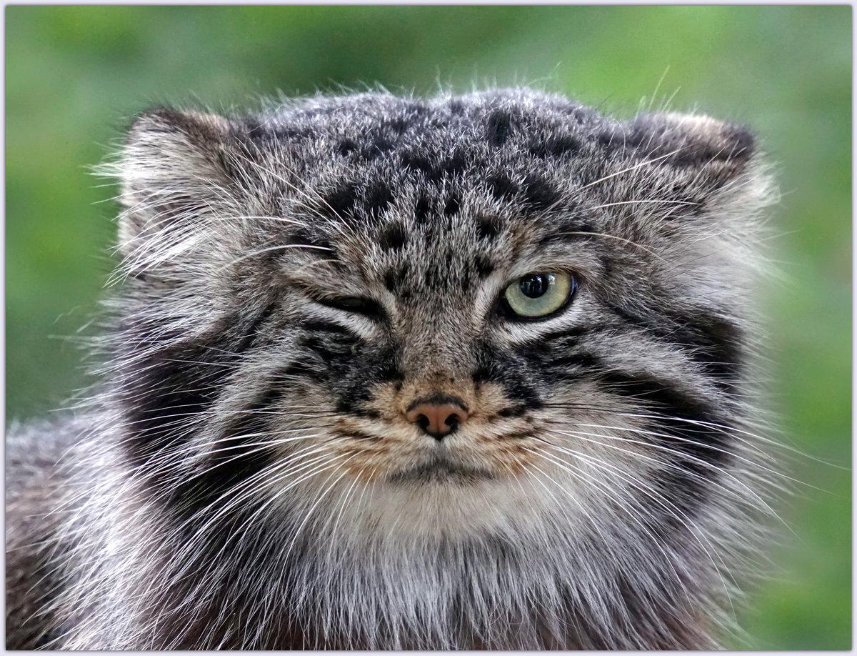 Для, дикие кошки прикольные картинки