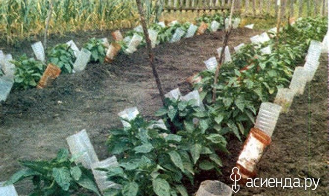 необходимо полив томатов через пластиковые бутылки фото готического