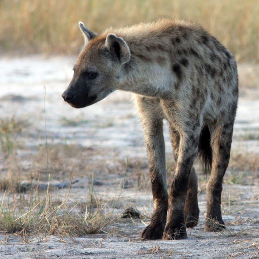 итоге рэпер пятнистая гиена самый крупный вид фото дом это просто