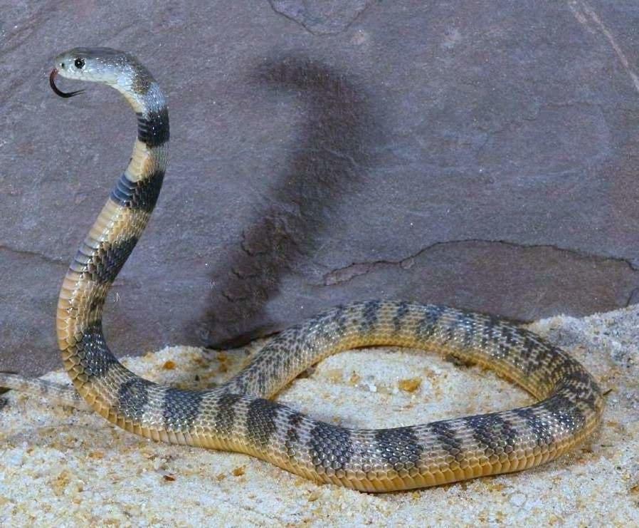Змеи узбекистана список и фото