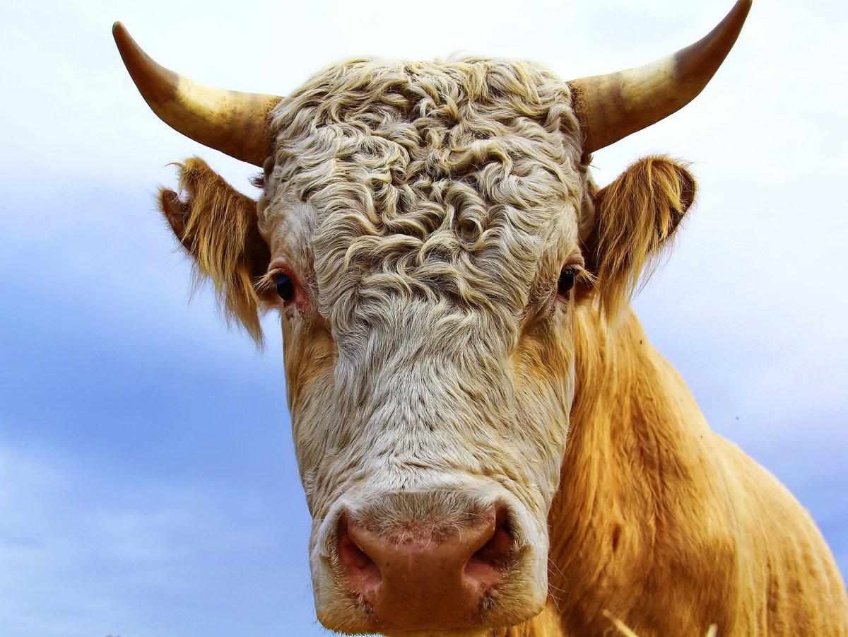 картинки быка домашнего нужны под