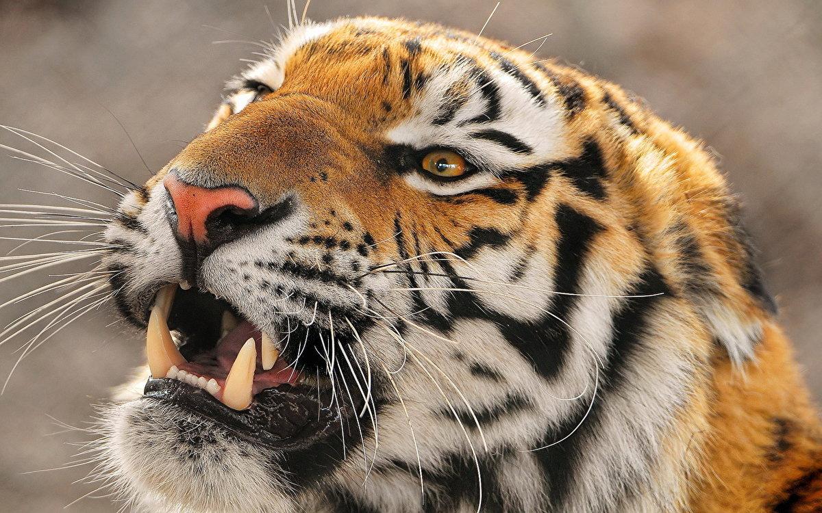 Разные картинки тигр