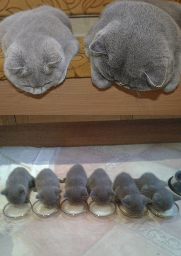 """Радость материнства - самая большая и главная радость в жизни женщины, но если это кошачья женщина, то в принципе ничего не меняется! Только посмотрите, как счастливы  молодые мамы! Они так счастливы, что местами даже не показывают своей озабоченности, куда же они будут девать котят?Но если котята породистые, то вопрос решается проще.А если обычные """"полосайки"""" - тогда уже надо что-то думать...В"""