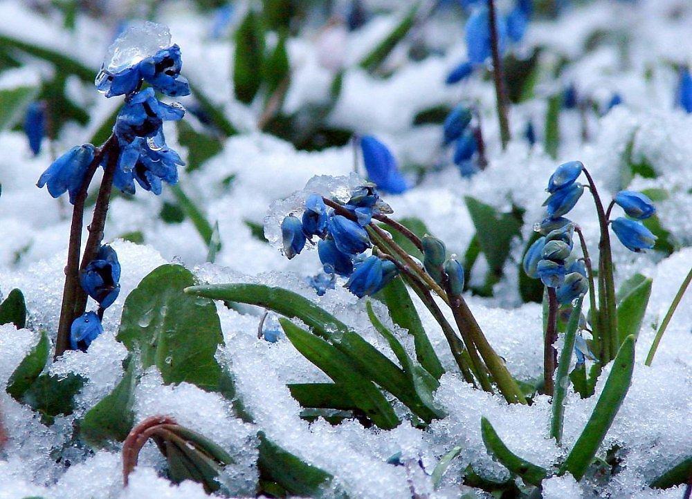 дама картинка голубые подснежники в снегу бежевые