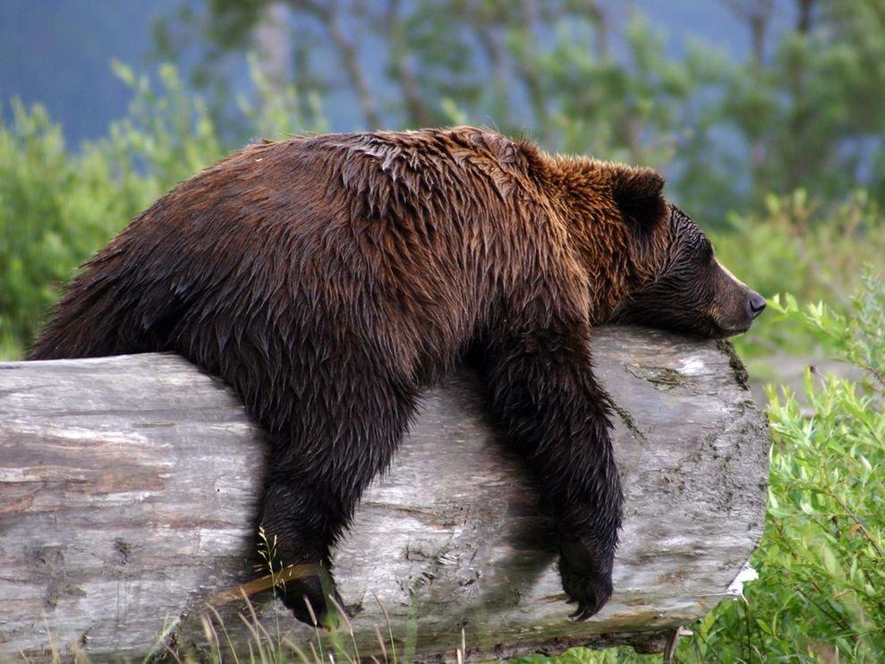 Курска, смешные картинки о медведях
