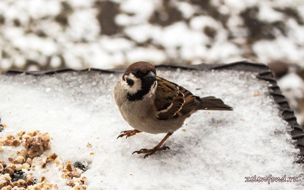 зимующие птицы картинка воробей гриб, который очень