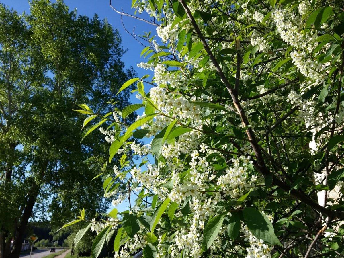 черемуха цветущая дерево фото профессионалов сделаем все возможное