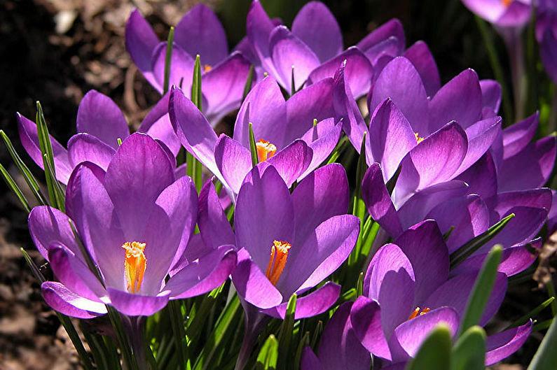 Цветы шафраны фото