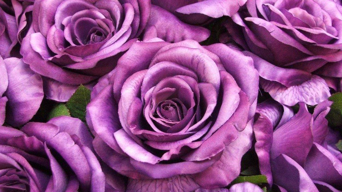 Сиреневые розы картинки, штаны