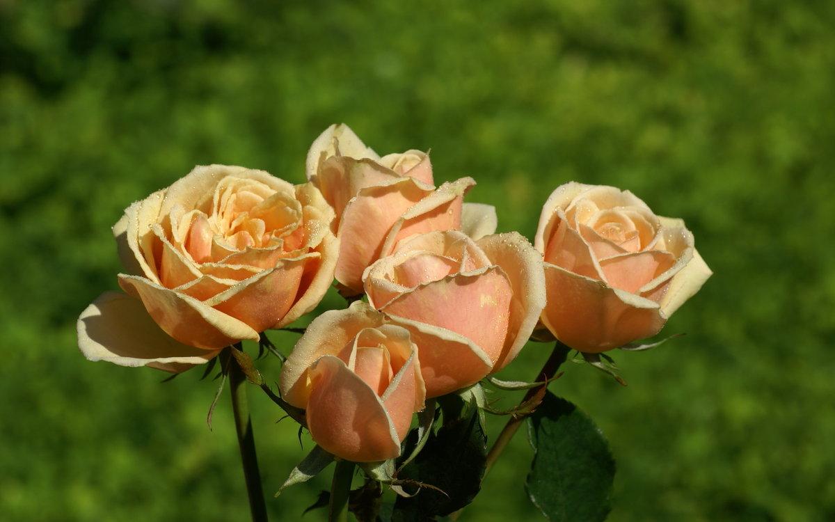 чайные розы показать картинки занять