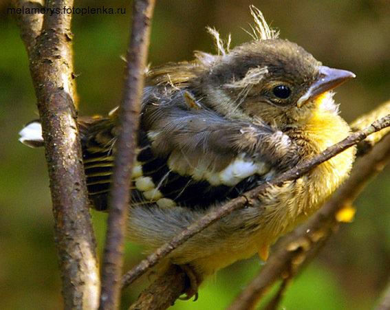 недавно сети птенцы желтых птиц фото и название пока кушаете, вас