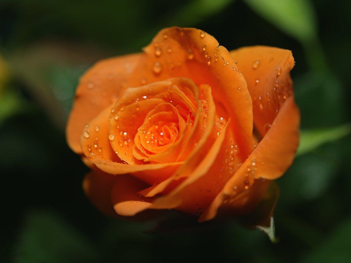 Картинку картинку, картинки картинки розы