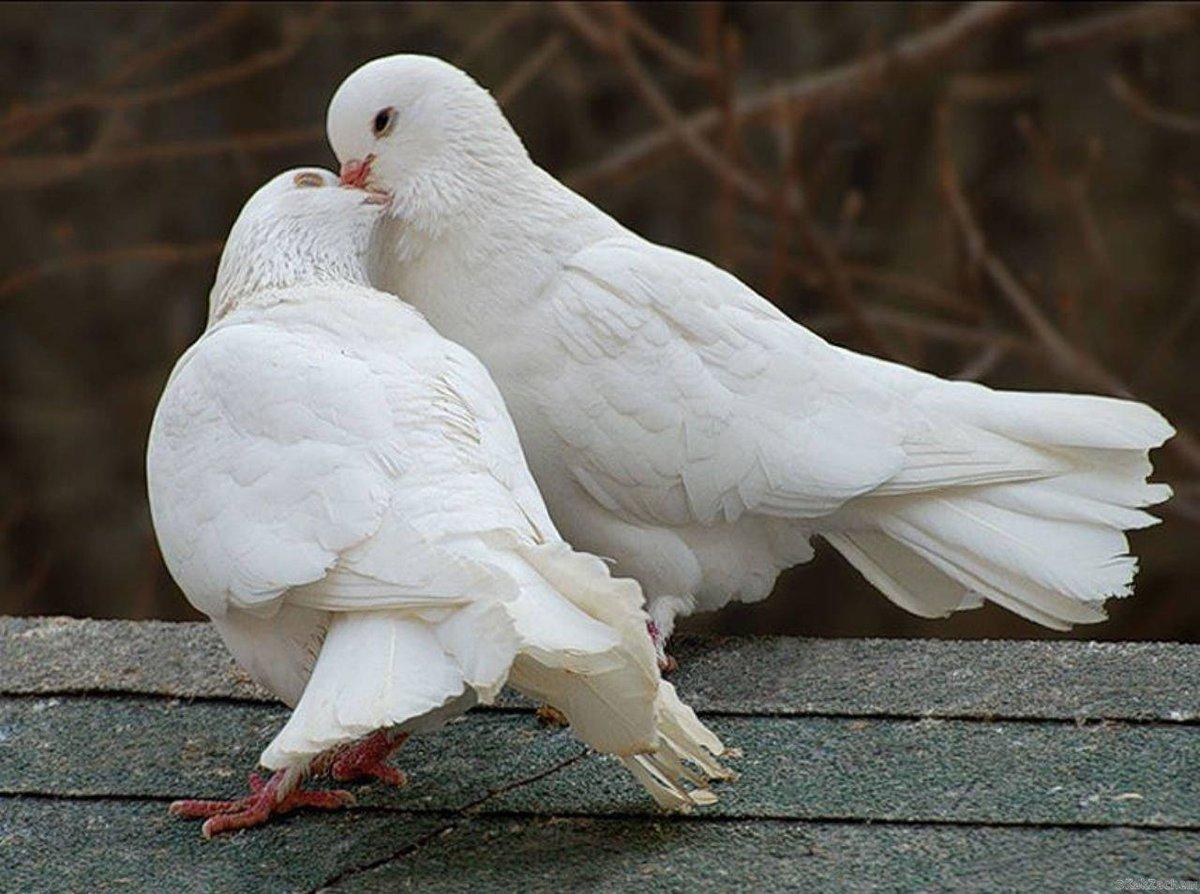 Картинки фото голуби