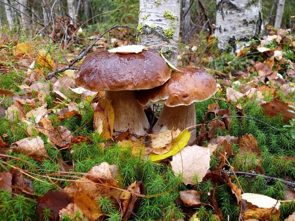 Картинка осень в лесу с грибами